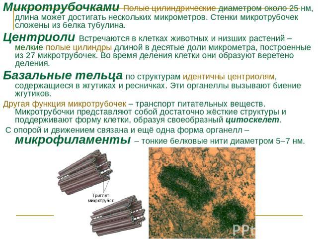 Микротрубочками Полые цилиндрические диаметром около 25нм, длина может достигать нескольких микрометров. Стенки микротрубочек сложены из белка тубулина. Центриоли Встречаются в клетках животных и низших растений – мелкие полые цилиндры длиной в дес…