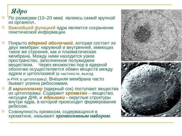 Ядро По размерам (10–20мкм) являясь самой крупной из органелл. Важнейшей функцией ядра является сохранение генетической информации. Покрытоядерной оболочкой, которая состоит из двух мембран: наружной и внутренней, имеющих такое же строение, как и …