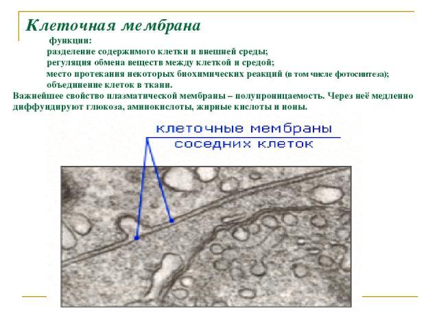 Клеточная мембрана функции: разделение содержимого клетки и внешней среды; регуляция обмена веществ между клеткой и средой; место протекания некоторых биохимических реакций (в том числе фотосинтеза); объединение клеток в ткани. Важнейшее свойство пл…