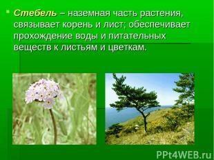 Стебель – наземная часть растения, связывает корень и лист; обеспечивает прохожд