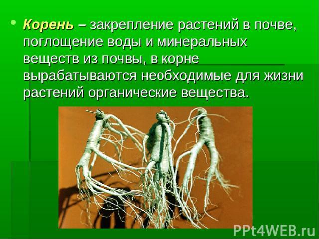 Корень – закрепление растений в почве, поглощение воды и минеральных веществ из почвы, в корне вырабатываются необходимые для жизни растений органические вещества.