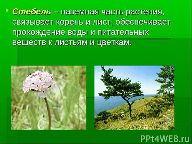 Стебель – наземная часть растения, связывает корень и лист; обеспечивает прохождение воды и питательных веществ к листьям и цветкам.