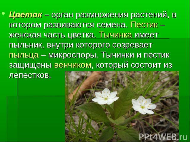 Цветок – орган размножения растений, в котором развиваются семена. Пестик – женская часть цветка. Тычинка имеет пыльник, внутри которого созревает пыльца – микроспоры. Тычинки и пестик защищены венчиком, который состоит из лепестков.