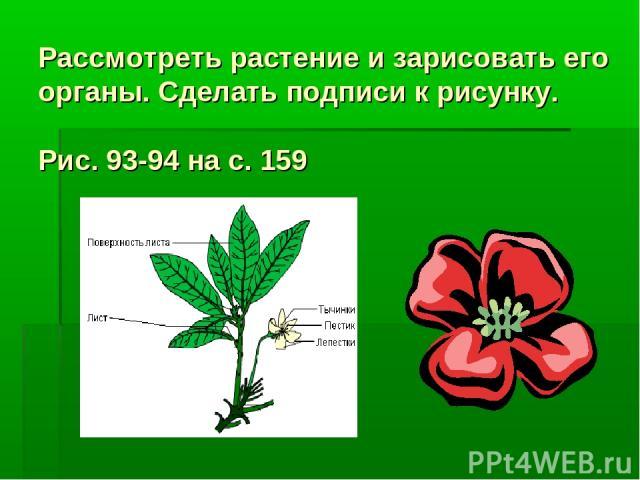 Рассмотреть растение и зарисовать его органы. Сделать подписи к рисунку. Рис. 93-94 на с. 159
