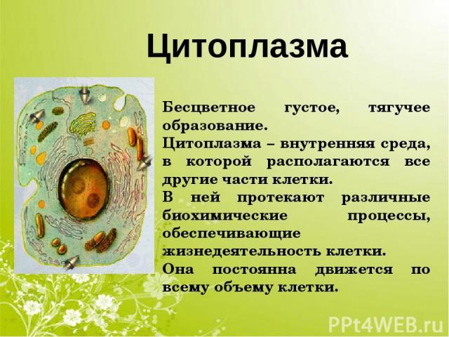Цитоплазма Бесцветное густое, тягучее образование. Цитоплазма – внутренняя среда, в которой располагаются все другие части клетки. В ней протекают различные биохимические процессы, обеспечивающие жизнедеятельность клетки. Она постоянна движется по в…