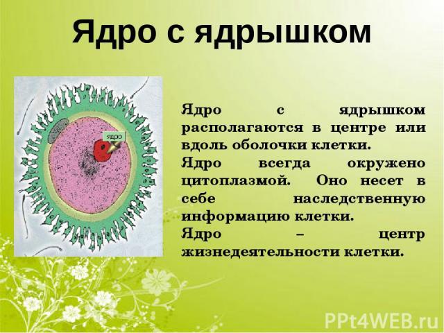 Ядро с ядрышком Ядро с ядрышком располагаются в центре или вдоль оболочки клетки. Ядро всегда окружено цитоплазмой. Оно несет в себе наследственную информацию клетки. Ядро – центр жизнедеятельности клетки.