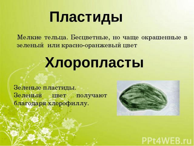 Хлоропласты Пластиды Мелкие тельца. Бесцветные, но чаще окрашенные в зеленый или красно-оранжевый цвет Зеленые пластиды. Зеленый цвет получают благодаря хлорофиллу.