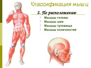 Классификация мышц 2. По расположению Мышцы головы Мышцы шеи Мышцы туловища Мышц