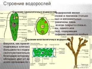 Строение водорослей Строение клеток.Клетки большинства водорослей имеют клеточн
