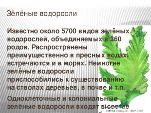 Зёлёные водоросли Известно около 5700 видов зелёных водорослей, объединяемых в 3