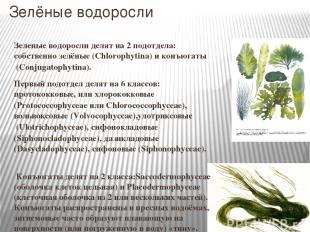Зелёные водоросли Зеленые водоросли делят на 2 подотдела: собственно зелёные (Ch