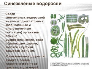Синезелёные водоросли Среди синезеленыхводорослей имеются одноклеточные, колони