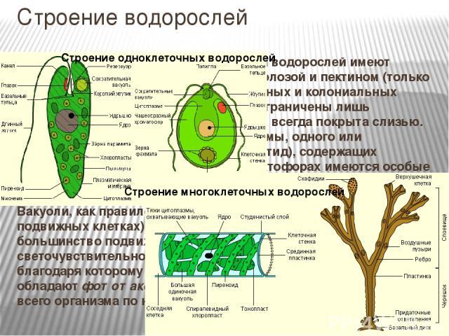 Строение водорослей Строение клеток.Клетки большинства водорослей имеют клеточную стенку, образованную целлюлозой и пектином (только у примитивных подвижных одноклеточных и колониальных водорослей, у зооспор и гамет клетки ограничены лишь плазмалем…