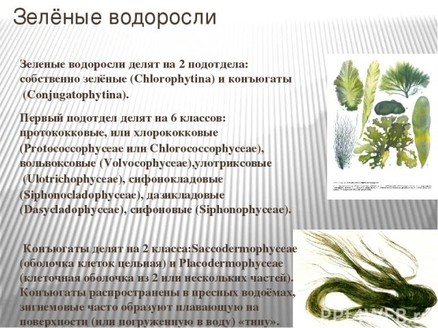 Зелёные водоросли Зеленые водоросли делят на 2 подотдела: собственно зелёные (Chlorophytina) иконъюгаты(Conjugatophytina). Первый подотдел делят на 6 классов:протококковые, или хлорококковые (Protococcophyceae или Chlorococcophyceae),вольвоксовы…