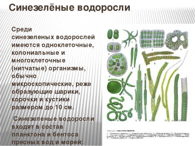 Синезелёные водоросли Среди синезеленыхводорослей имеются одноклеточные, колониальные и многоклеточные (нитчатые) организмы, обычно микроскопические, реже образующие шарики, корочки и кустики размером до 10 см. Синезеленые водоросли входят в соста…