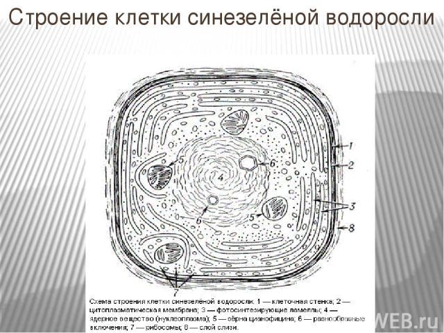 Строение клетки синезелёной водоросли
