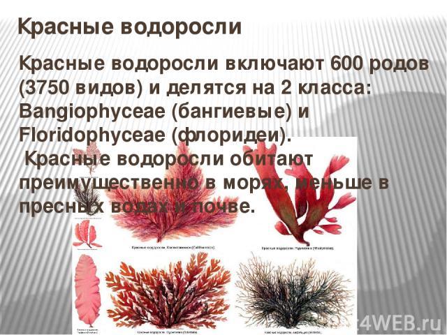 Красные водоросли Красные водоросливключают 600 родов (3750 видов) и делятся на 2 класса: Bangiophyceae (бангиевые) и Floridophyceae (флоридеи). Красные водоросли обитают преимущественно в морях, меньше в пресных водах и почве.