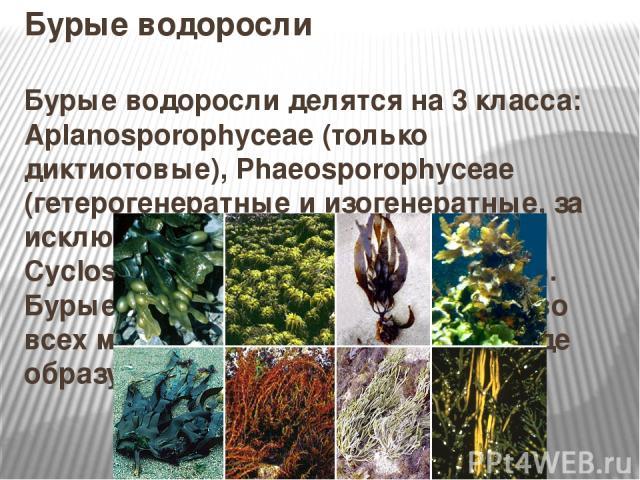 Бурые водоросли Бурые водоросли делятся на 3 класса: Aplanosporophyceae (только диктиотовые), Phaeosporophyceae (гетерогенератные и изогенератные, за исключением диктиотовых) и Cyclosporophyceae (циклоспоровые). Бурые водоросли распространены во все…