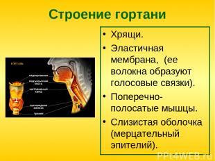 Строение гортани Хрящи. Эластичная мембрана, (ее волокна образуют голосовые связ