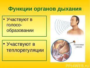 Функции органов дыхания Участвуют в голосо-образовании Участвуют в теплорегуляци