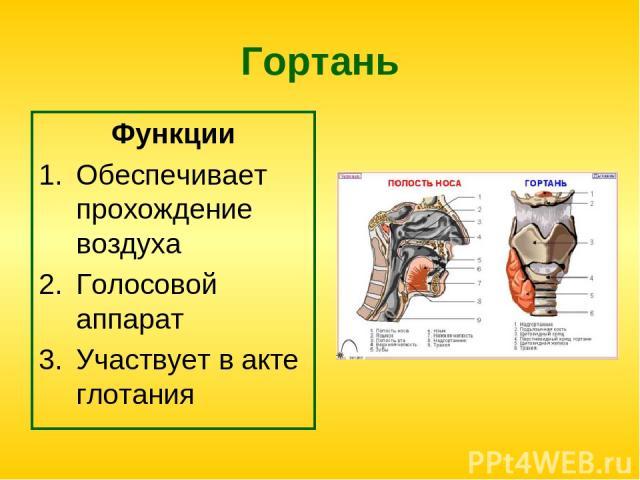 Гортань Функции Обеспечивает прохождение воздуха Голосовой аппарат Участвует в акте глотания