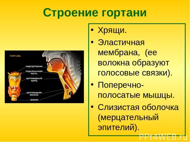 Строение гортани Хрящи. Эластичная мембрана, (ее волокна образуют голосовые связки). Поперечно-полосатые мышцы. Слизистая оболочка (мерцательный эпителий).