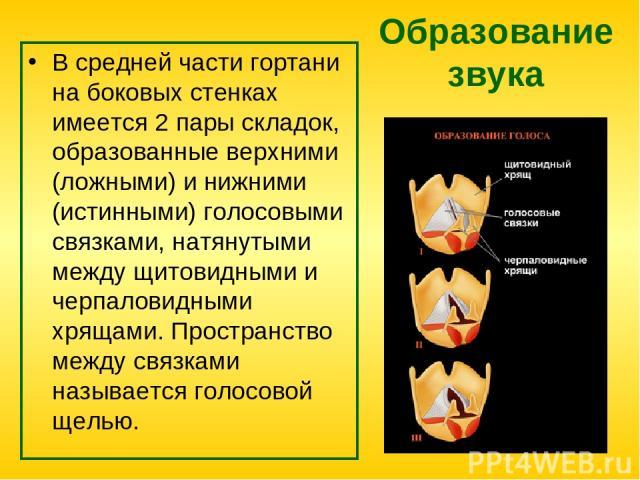 Образование звука В средней части гортани на боковых стенках имеется 2 пары складок, образованные верхними (ложными) и нижними (истинными) голосовыми связками, натянутыми между щитовидными и черпаловидными хрящами. Пространство между связками называ…