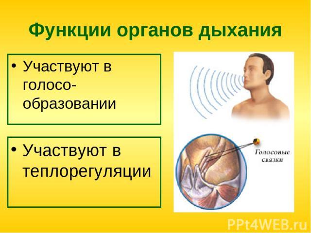 Функции органов дыхания Участвуют в голосо-образовании Участвуют в теплорегуляции