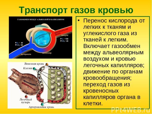 Транспорт газов кровью Перенос кислорода от легких к тканям и углекислого газа из тканей к легким. Включает газообмен между альвеолярным воздухом и кровью легочных капилляров; движение по органам кровообращения; переход газов из кровеносных капилляр…