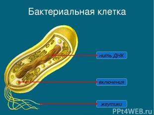 Бактериальная клетка нить ДНК жгутики включения