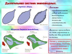 Дыхательная система земноводных. Строение лёгких. Механизм дыхания земноводных.