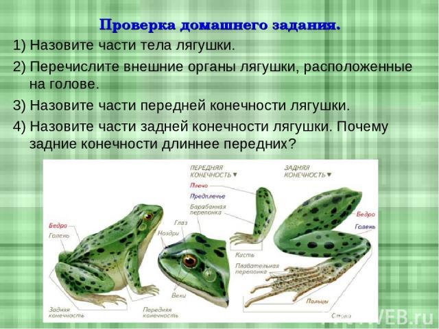 Проверка домашнего задания. 1) Назовите части тела лягушки. 2) Перечислите внешние органы лягушки, расположенные на голове. 3) Назовите части передней конечности лягушки. 4) Назовите части задней конечности лягушки. Почему задние конечности длиннее …