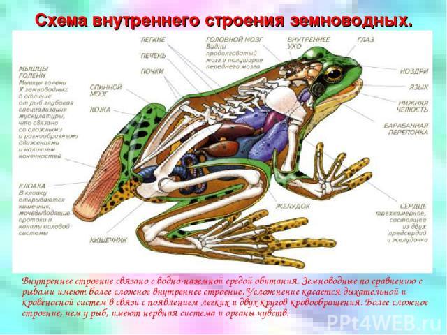 Схема внутреннего строения земноводных. Внутреннее строение связано с водно-наземной средой обитания. Земноводные по сравнению с рыбами имеют более сложное внутреннее строение. Усложнение касается дыхательной и кровеносной систем в связи с появление…