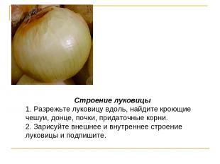 Строение луковицы 1. Разрежьте луковицу вдоль, найдите кроющие чешуи, донце, поч