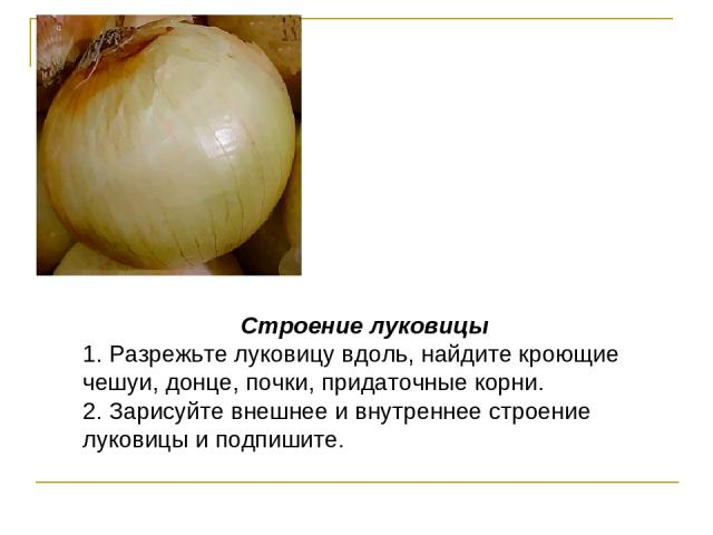 Строение луковицы 1. Разрежьте луковицу вдоль, найдите кроющие чешуи, донце, почки, придаточные корни. 2. Зарисуйте внешнее и внутреннее строение луковицы и подпишите.