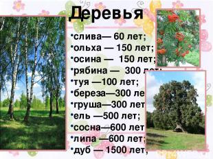 Деревья слива— 60 лет; ольха — 150 лет; осина — 150 лет; рябина — 300 лет; туя —