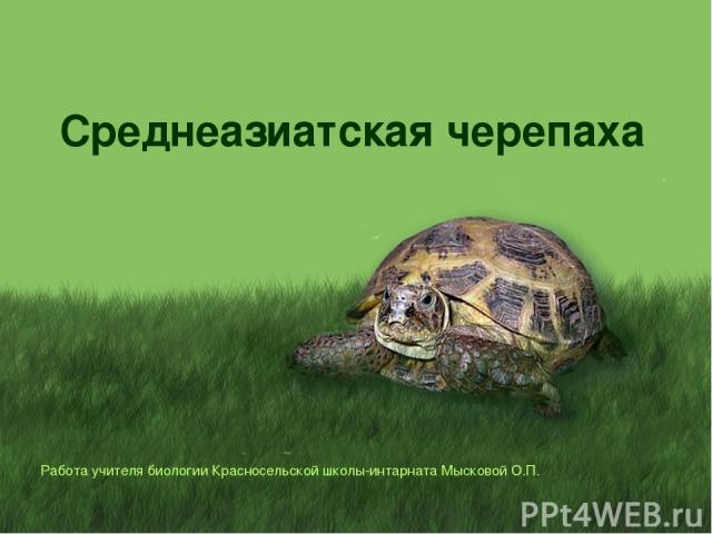 Среднеазиатская черепаха Работа учителя биологии Красносельской школы-интарната Мысковой О.П.