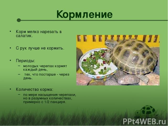 Кормление Корм мелко нарезать в салатик. С рук лучше не кормить. Периоды: молодых черепах кормят каждый день, тех, что постарше - через день. Количество корма: по мере насыщения черепахи, но в разумных количествах, примерно с 1/2 панциря.