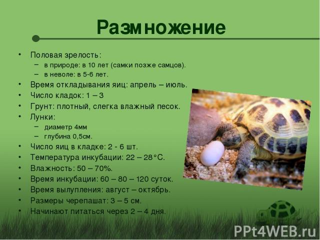 Размножение Половая зрелость: в природе: в 10 лет (самки позже самцов). в неволе: в 5-6 лет. Время откладывания яиц: апрель – июль. Число кладок: 1 – 3 Грунт: плотный, слегка влажный песок. Лунки: диаметр 4мм глубина 0,5см. Число яиц в кладке: 2 - 6…