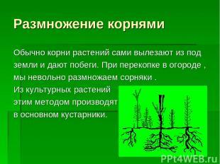 Размножение корнями Обычно корни растений сами вылезают из под земли и дают побе