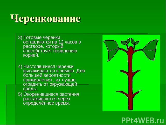 Черенкование 3) Готовые черенки оставляются на 12 часов в растворе, который способствует появлению корней. 4) Настоявшиеся черенки высаживаются в землю. Для большей вероятности приживления , их лучше оградить от окружающей среды. 5) Окоренившиеся ра…