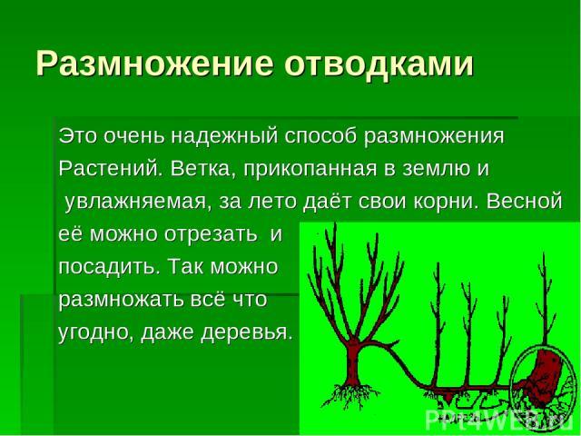 Размножение отводками Это очень надежный способ размножения Растений. Ветка, прикопанная в землю и увлажняемая, за лето даёт свои корни. Весной её можно отрезать и посадить. Так можно размножать всё что угодно, даже деревья.