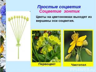 Простые соцветия Соцветие зонтик Цветы на цветоножках выходят из вершины оси соц