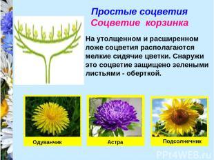 Простые соцветия Соцветие корзинка На утолщенном и расширенном ложе соцветия рас