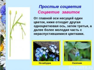 Простые соцветия Соцветие завиток От главной оси несущей один цветок, ниже отход