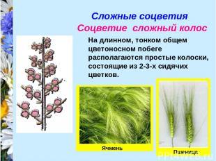 Сложные соцветия Соцветие сложный колос На длинном, тонком общем цветоносном поб