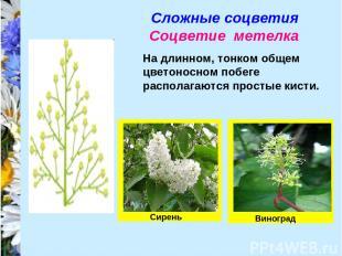 Сложные соцветия Соцветие метелка На длинном, тонком общем цветоносном побеге ра