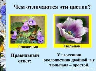 Чем отличаются эти цветки? Глоксиния Тюльпан Правильный ответ: У глоксинии около