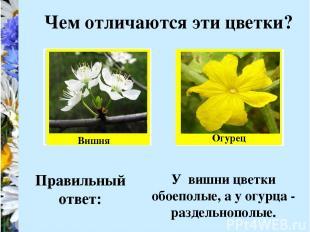 Чем отличаются эти цветки? Вишня Огурец Правильный ответ: У вишни цветки обоепол