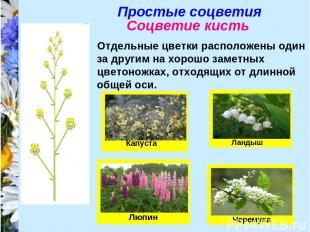 Простые соцветия Соцветие кисть Отдельные цветки расположены один за другим на х
